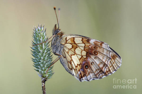 Wall Art - Photograph - Butterfly - Meadow Satyrid by Michal Boubin