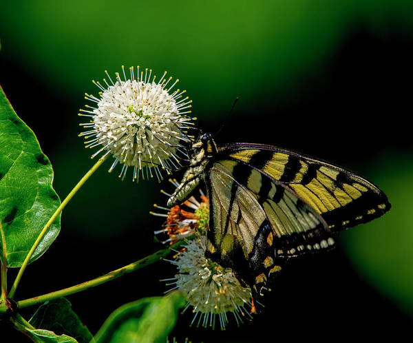 Photograph - Butterfly 10 by Buddy Scott