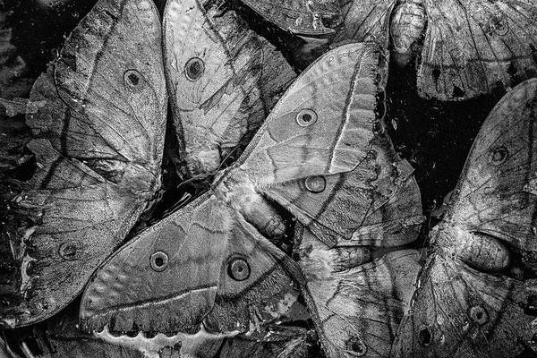 Photograph - Butterfly #2056 Bw by Andrey Godyaykin
