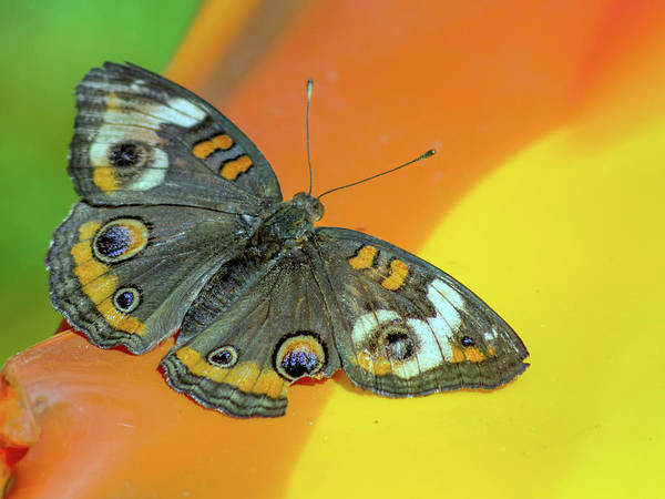 Photograph - Butterfly 7637-101517-1cr by Tam Ryan