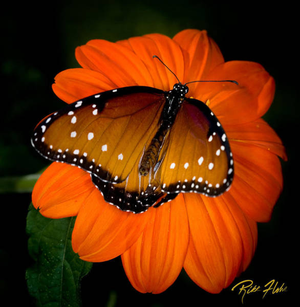 Photograph - Butterfly And Blossom by Rikk Flohr