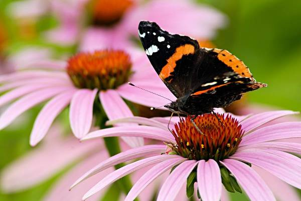Photograph - Butterfly And Cone Flowers by Larry Ricker