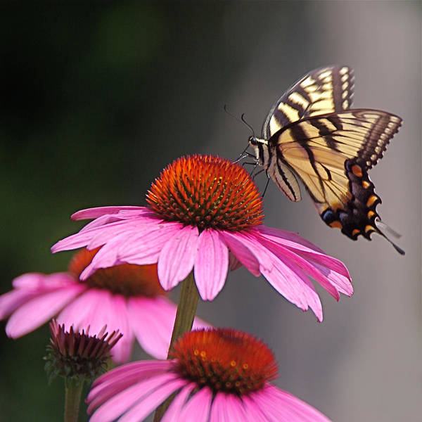 Photograph - Butterfly And Coneflower by Byron Varvarigos