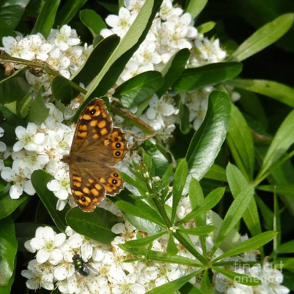 Photograph - Butterfly And Metalic Green Fly by Jean Bernard Roussilhe