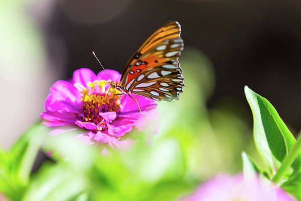 Photograph - Butterfly And Pink Cosmo by SR Green