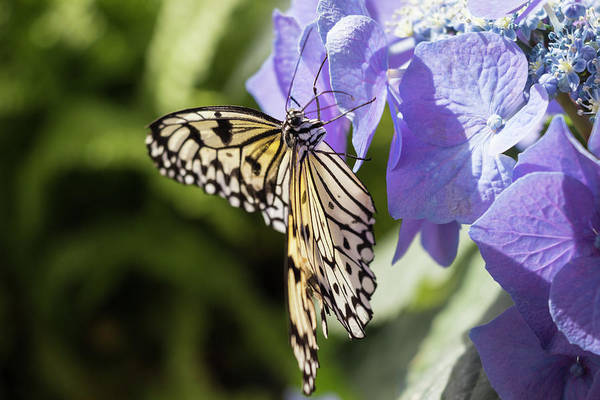 Photograph - Butterfly And Purple Hydrangea by Cristina Stefan