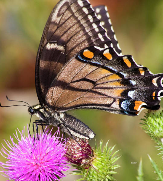 Thistle Photograph - Butterfly And Thistle by Betsy Knapp