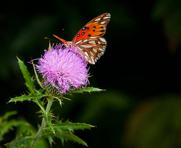 Wall Art - Photograph - Butterfly And Thistle I by Ron Plasencia