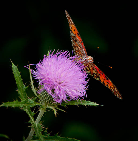 Wall Art - Photograph - Butterfly And Thistle II by Ron Plasencia