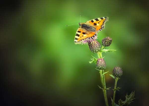 Tortoiseshell Photograph - Butterfly And Thistle by Mr Doomits