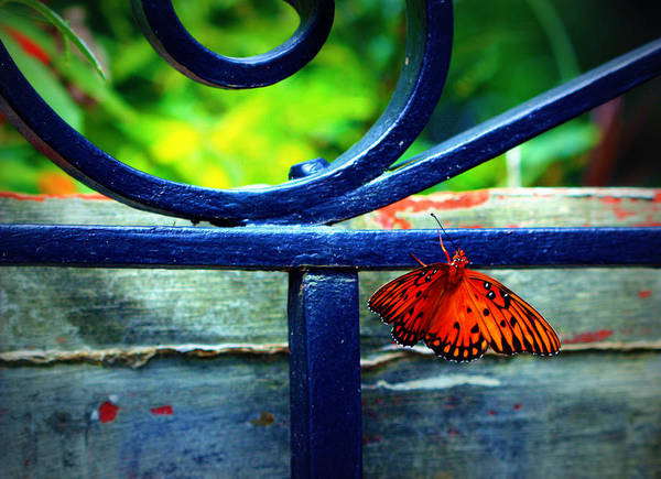 Photograph - Butterfly At The Gate by Susie Weaver