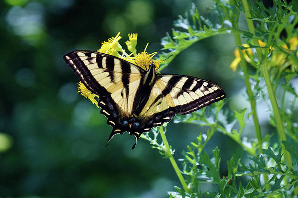 Photograph - Butterfly At Wilson Creek #1 by Ben Upham III
