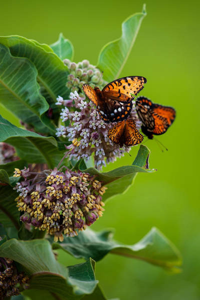 Photograph - Butterfly Buffet by Jeff Phillippi