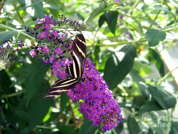 Photograph - Butterfly by Charles Robinson