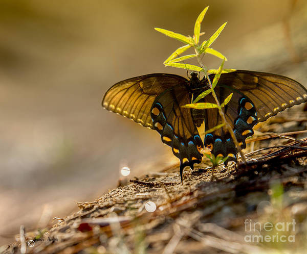 Photograph - Butterfly Dew by James Hennis