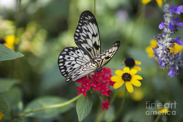 Photograph - Butterfly Dream by Carol Groenen