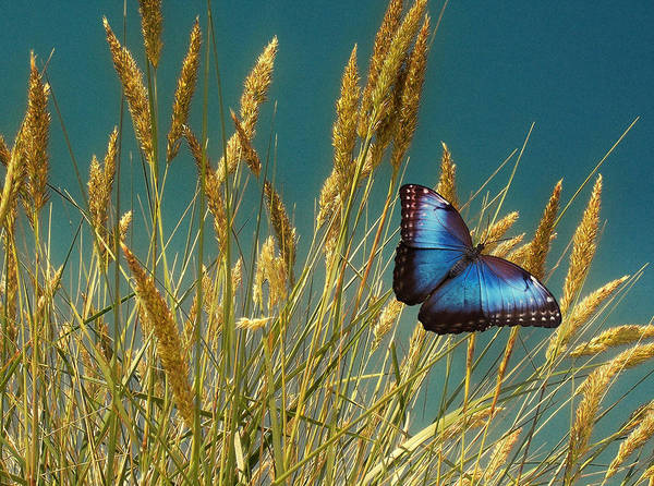Photograph - Butterfly Fields Of Grain Blue by David Dehner