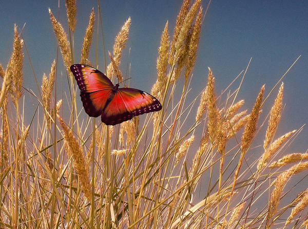 Photograph - Butterfly Fields Of Grain Red by David Dehner