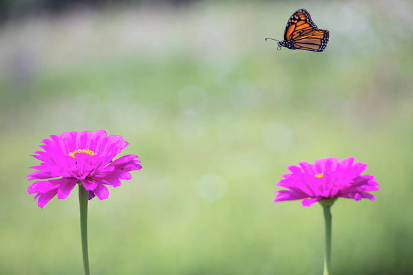 Photograph - Butterfly Flight Path by Brian Hale
