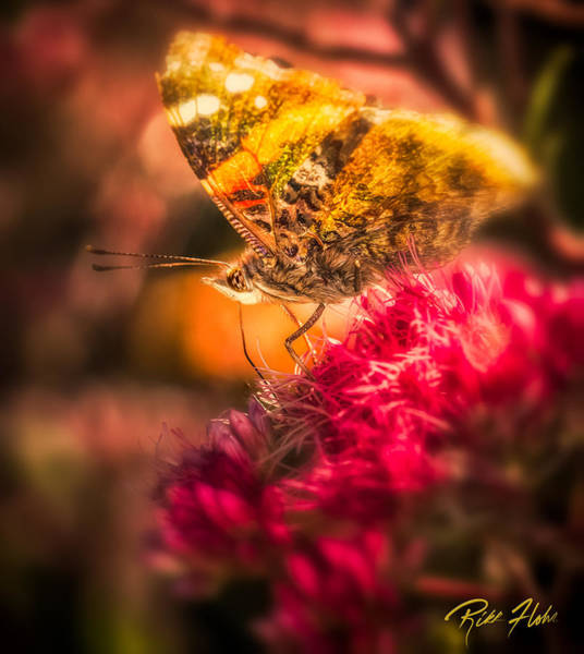 Photograph - Butterfly Glow by Rikk Flohr