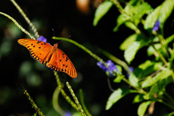 Photograph - Butterfly by Harry Spitz