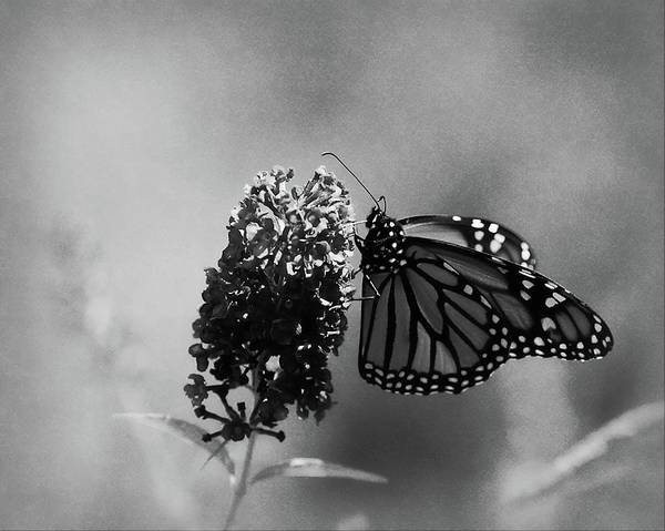 Photograph - Butterfly In Black And White by Angie Tirado