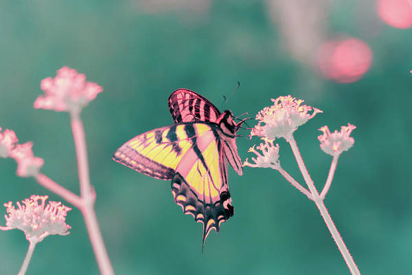 Photograph - Butterfly In Infrared by Brian Hale