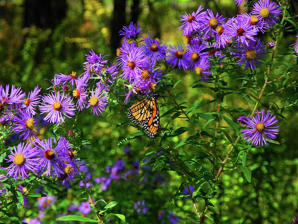 Photograph - Butterfly In Pine Grove State Park by Raymond Salani III
