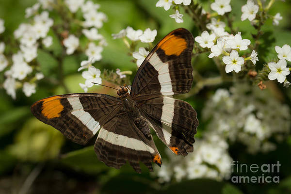 Photograph - Butterfly In The Garden by Ana V Ramirez