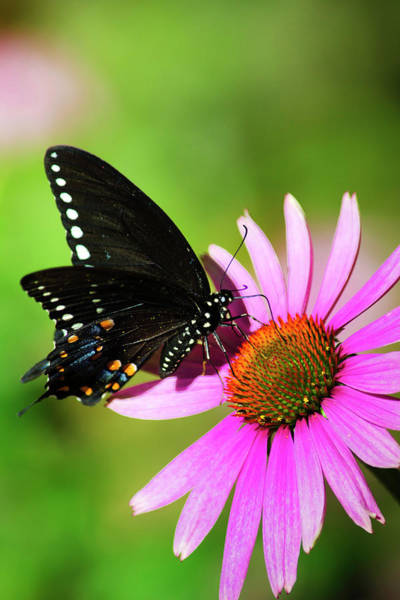 Photograph - Spicebush Butterfly In The Sun by Christina Rollo