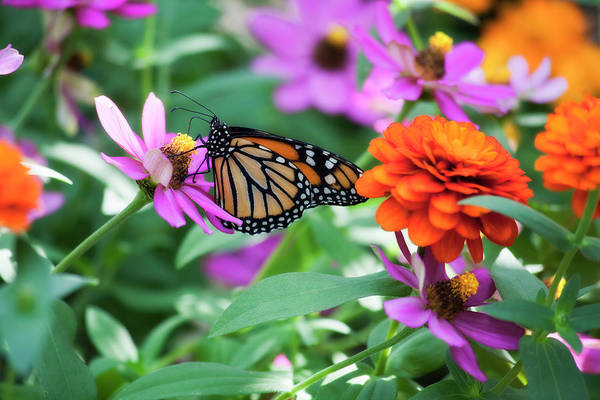 Photograph - Butterfly In The Zinnias by Jill Lang