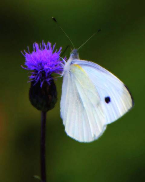 Photograph - Butterfly In White by John Feiser