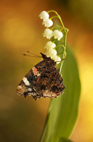 Wall Art - Photograph - Impression With A Big Butterfly And Lily Of They Valley by Jaroslaw Blaminsky