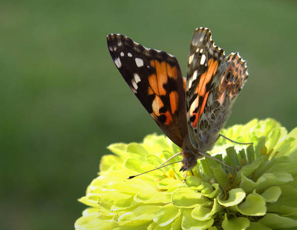 Wall Art - Photograph - Butterfly by Joseph Skompski
