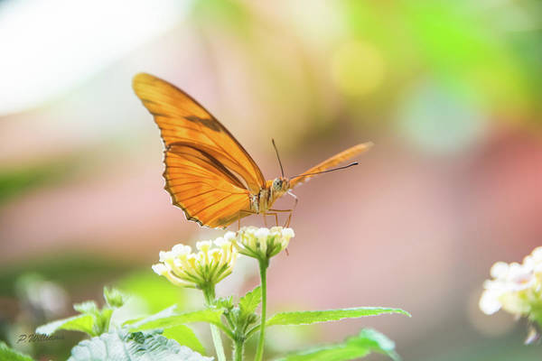 Photograph - Butterfly - Julie Heliconian by Pamela Williams
