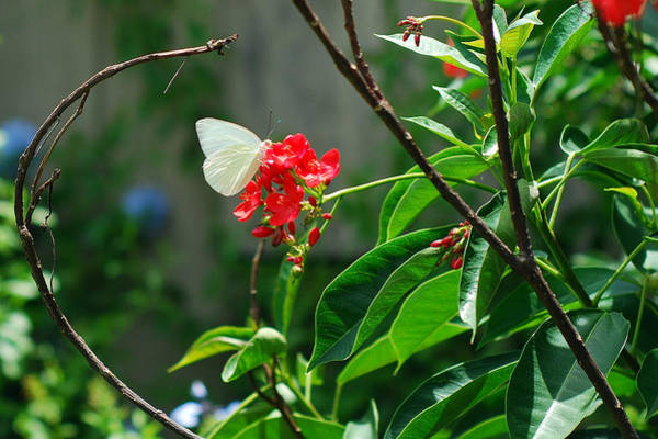Photograph - Butterfly by Larah McElroy
