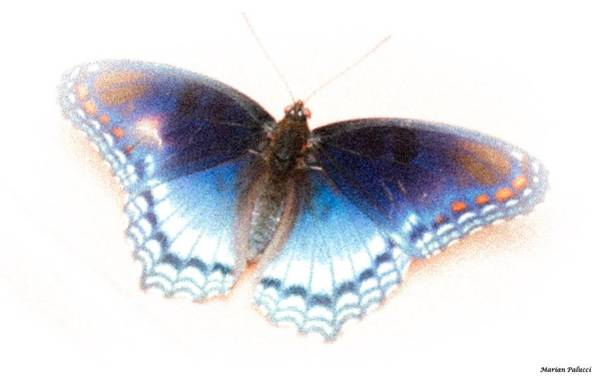 Photograph - Butterfly Life Begins by Marian Palucci-Lonzetta