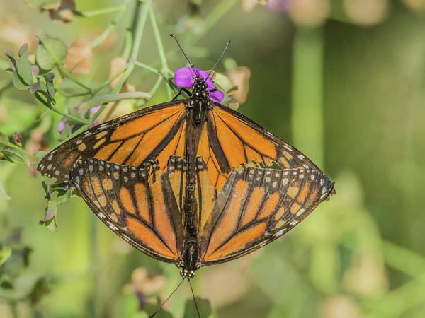 Photograph - Butterfly Mates 7523-101017-1cr by Tam Ryan
