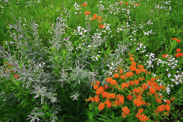 Photograph - Butterfly Milkweed And Other Wildflowers In Moraine Hills Sp by Ray Mathis