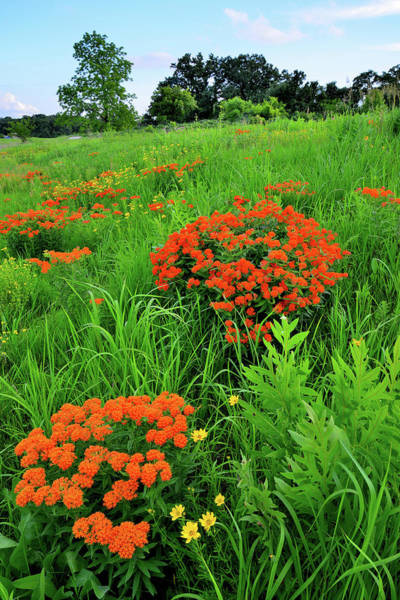 Photograph - Butterfly Milkweed Galore On Glacial Park Hillside by Ray Mathis