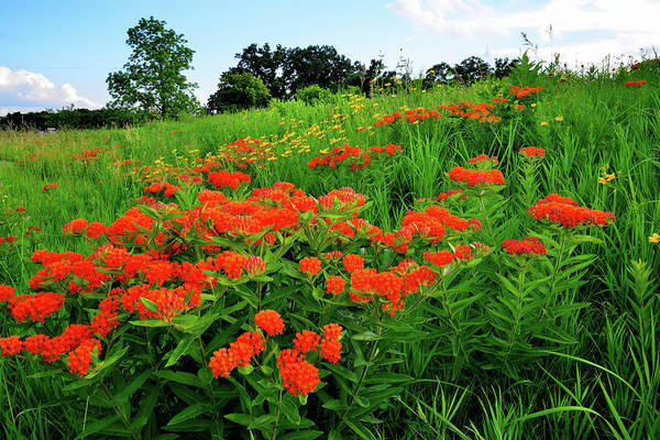 Photograph - Butterfly Milkweed Grows In Glacial Park by Ray Mathis
