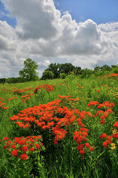Photograph - Butterfly Milkweed On A Hillside In Glacial Park by Ray Mathis