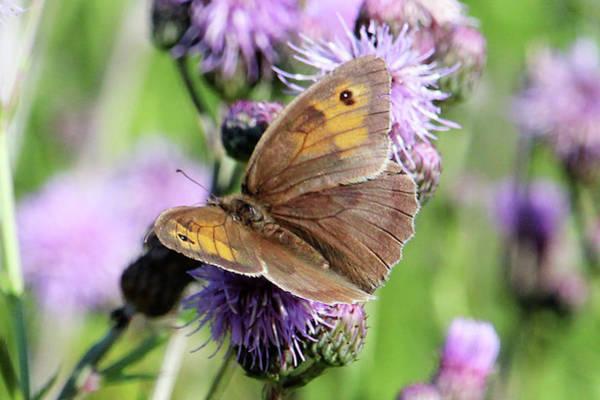 Butterfly Photograph  Art Print