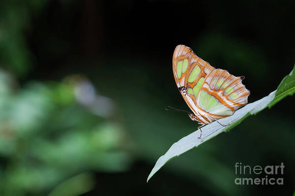 Wall Art - Photograph - Butterfly Of Green And Gold by Ruth Jolly