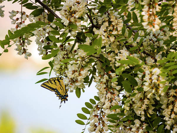 Photograph - Butterfly On A Flowering Tree by Christopher Johnson