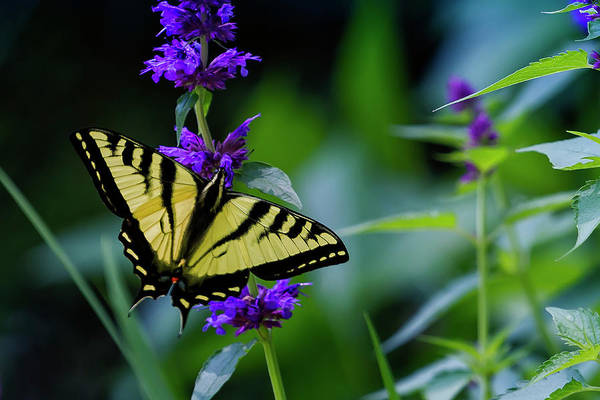 Photograph - Butterfly On A Purple Flower by Belinda Greb