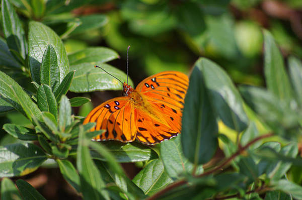 Photograph - Butterfly On A Sunny Day by Willard Killough III