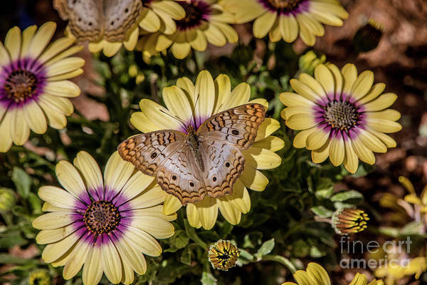 Butterfly On Blossoms Art Print