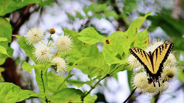 Photograph - Butterfly On Buttonbush by Cynthia Guinn