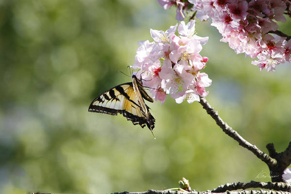 Photograph - Butterfly On Cherry Blossom by Diana Haronis